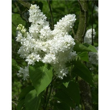 Syringa vulgaris Mme Lemoine (Flieder, gemeiner Flieder )