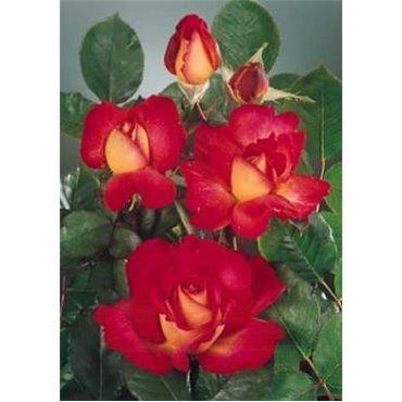 Rosier à grandes fleurs Bolchoi (R)