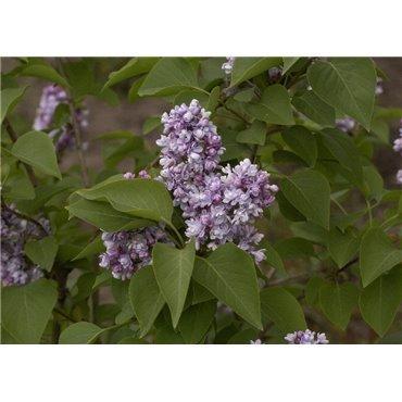 Syringa vulgaris Katherine Havemeyer ( Flieder, gemeiner Flieder )
