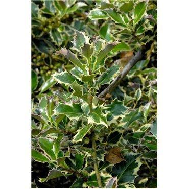 Ilex aquifolium Argenteomarginata (houx panaché)