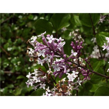 Syringa meyeri Palibin (lilas)