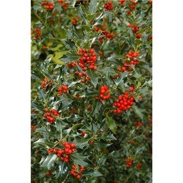 Ilex aquifolium ( Stechpalme )