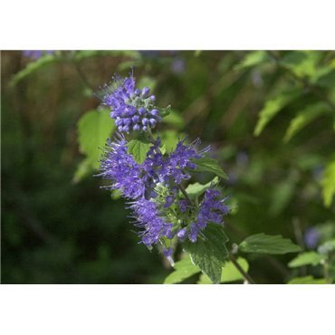 Caryopteris clandonensis Heavenly Blue (Barbe-Bleu)
