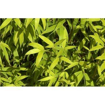 Phyllostachys aurea (bambou)