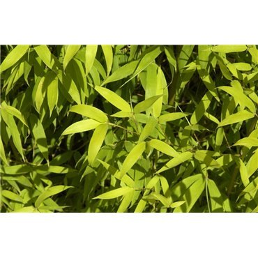 Phyllostachys aurea  ( Bambus )