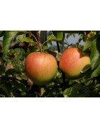 Äpfel Bio